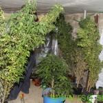 V Račah 19-letniku zasegli 38 sadik konoplje