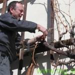 Rez najžlahtnejše vinske trte na svetu