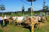 Po petih letih spet govedorejska razstava na Poleni