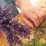 Ob prazniku Štajerske sivke razmislek o gojenju za Slovenijo manj običajnih rastlin