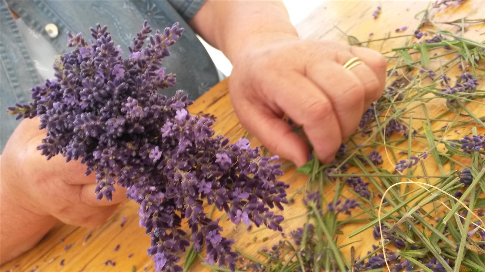 Med cvetočo sivko v Selnico ob Dravi