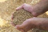 Pšenice letos manj, kakovost na visoki ravni
