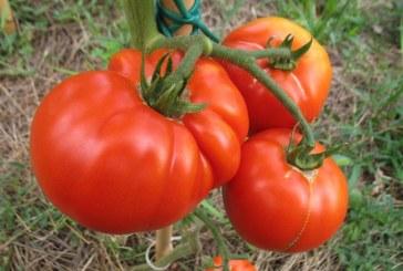 Kaj je potrebno vedeti o pridelovanju paradižnika?