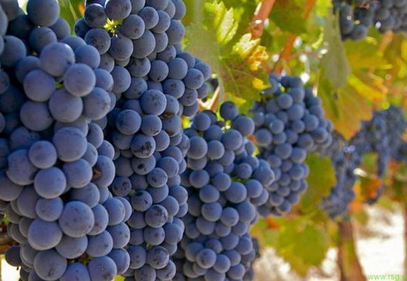 Štajerski vinarji trgatve načrtujejo šele po začetku septembra