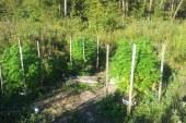 Konoplja tokrat odkrita v gozdu pri Staršah