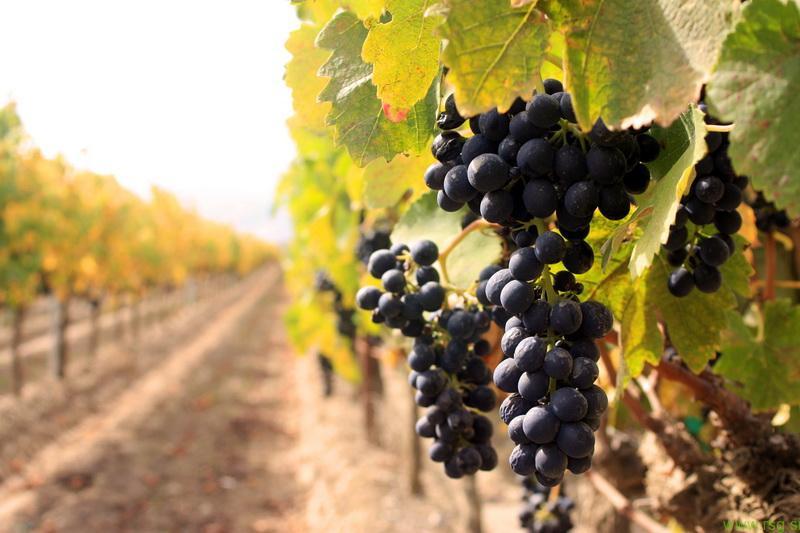 Roman Štabuc - specialist za vinogradništvo: letos čudovit letnik