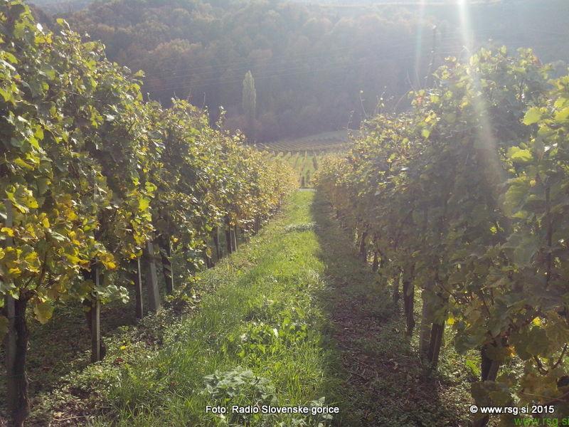 Nordijska hoja med vinogradi v Svečini