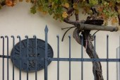 Trgatev Stare trte napoveduje festivalsko dogajanje v mestu ob Dravi