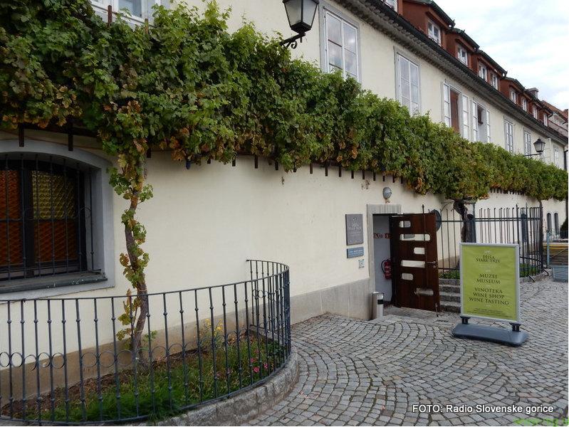 Tudi iz grozdja stare trte je mogoče pridelati kvalitetno vino