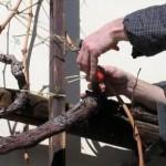 Cerkvenjaški vinogradniki se bodo podučili o rezi vinske trte