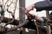 Sveti Vincencij odklene rez vinske trte