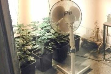 Lenarški Policisti v Lenartu zasegli več sadik konoplje