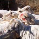 V Cerkvenjaku neznani storilec poškodoval več ovac