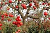 V Slovenskih goricah še veliko starih sort sadnih dreves