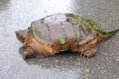 V mariborskem parku nevarna želva
