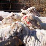 V Cogetincih psa pogrizla več ovac