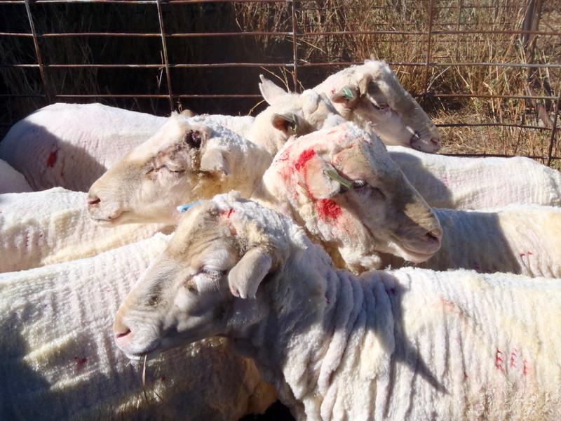 Cerkvenjak - Potepuški psi pogrizli več ovac