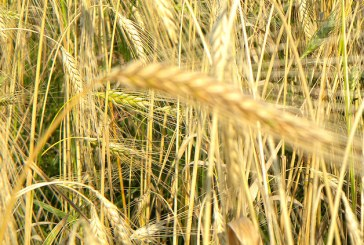 Kako ponovno vzpostaviti žitno verigo med mlinarji in kmeti?