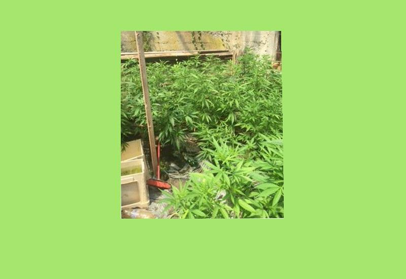 V okolici Maribora odkrili večjo količino sadik prepovedane droge konoplje