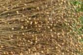 Destrnik in Trnovska vas v preteklosti znana po pridelavi lanu