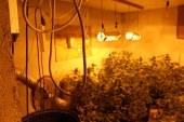Našli 83 sadik prepovedane droge konoplje