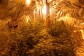 Gojil 140 sadik konoplje