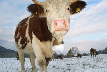 Govedo dobro prenaša nizke zimske temperature
