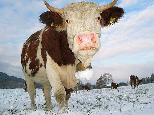 V Zimskem času so za govejo živino pomembne predvsem vlaknine