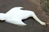 Z Radehovskega jezera odpeljali poginulega laboda