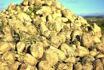 Del kmetov po desetih letih spet v pridelavo sladkorne pese
