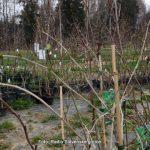 Sajenje sadnih sadik letos zaradi dolge zime zamuja