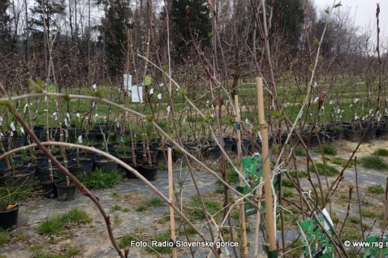 Skrajni čas za rez sadnega drevja