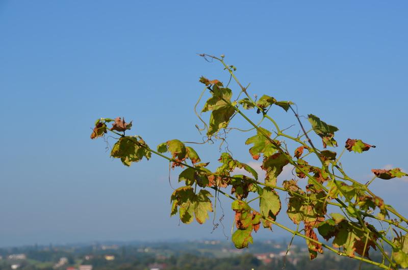 Anovski vinogradniki tudi letos s smelimi načrti
