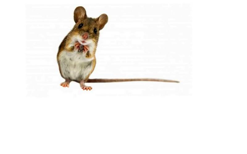 V Sloveniji letos več primerov mišje mrzlice kot običajno