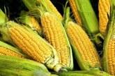 Letošnji pridelek koruze količinsko in kakovostno slabši