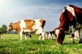 Tudi v osrednjih Slovenskih goricah prevladuje lisasta pasma goveda