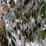 V Upravni enoti Lenart 15 večjih sadjarjev 100 odstotno škodo po lanski pozebi