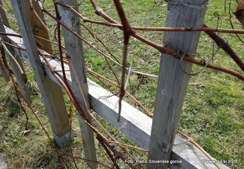 Delo vinogradnikov še kako pogojeno z vremenom