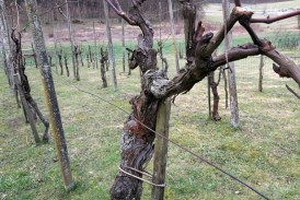 Čas je za rez vinske trte