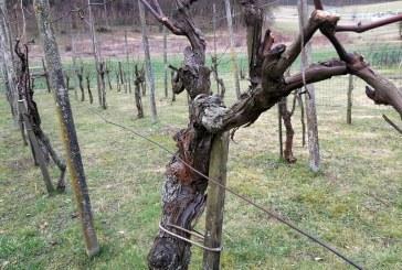 Anovski vinogradniki bodo ta konec tedna ocenjevali vina in opravili rez trt na Postičevi poti