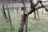 Pravi čas za obrezovanje jablan, vinske trte in jagodičevja