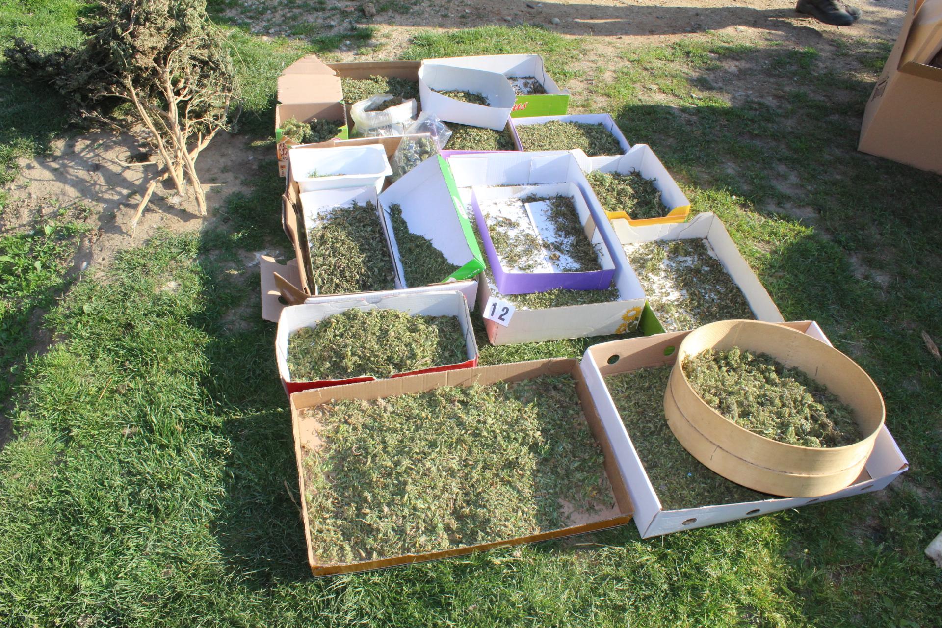 Na Ptuju pri 56-letniku odkrili 177 sadik in 23 kilogramov konoplje