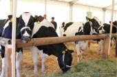 Govedo lažje prenaša mraz kot vročino