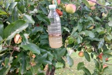 Selnica ob Dravi v znamenju jabolk
