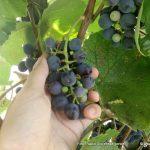 Lenarški vinogradniki opravili trgatev v Ovtarjevem krožišču in na vrtčevskih brajdah