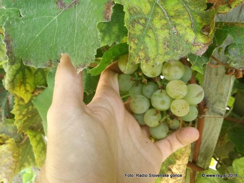 Kako bo z 9. odprtim meddruštvenim ocenjevanjem vin slovenjegoriških vinogradnikov letos?