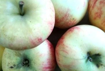 Jabolko na tisoč in en način v Selnici ob Dravi