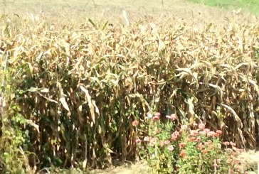 Zadnje padavine dobrodošle za koruzo, bučo in vrtnine, ne pa za žita