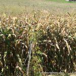 Kmetje letos bolj zadovoljni s pridelkom koruze kot pšenice