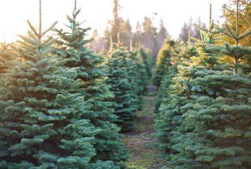 Naravno božično drevesce je potrebno izbrati skrbno